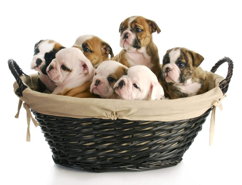 Wicker basket of puppies